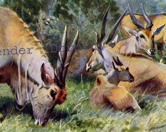Antelope Family Natural History Lithograph Illustration Germany Original Edwardian Era Art To Frame