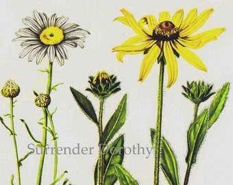Black Eyed Susan & Daisy Wildflowers Vintage Summer Flowers 1950s Botanical Lithograph Art  Print To Frame 218