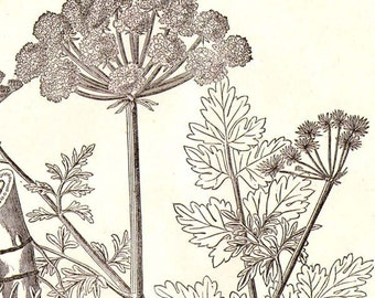 Water Dropwort Oenanthe Croata Deadly Plant 1892 Victorian Antique Botanical Herbalist Chart To Frame