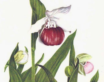 Showy Lady's Slipper Flowers Cypripedium Reginae Vintage 1955 Botanical Lithograph Art  Print To Frame