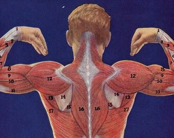 Musclular Man Human Anatomy Posterior View Vintage Lithogtaph 1930s If You've Got It, Flaunt It Dude.