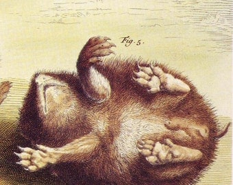 European Hedgehog Illustrated In Five Views. Reproduction Print From 1734