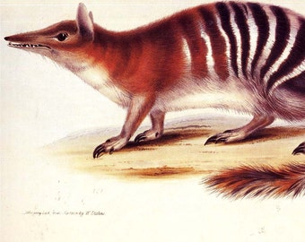 Numbat Marsupial Anteater Vintage Natural History Reproduction Lithograph