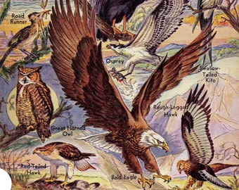 Birds Of Prey & Game Birds 1947 Double Sided Vintage Natural History Lithograph Print To Frame