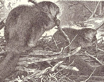 Mice Marmots Covys & Beavers Vintage Edwardian Natural History Illustration Of Rodents To Frame 1906