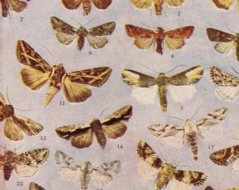 Mamestra, Xylomiges, Heliophila Moths Vintage Edwardian Entomology Rotogravure Illustration  XXIV