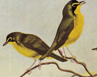 Warbler Families Songbirds Ornithology Lithograph Illustration Natural History To Frame Allen Brooks 86