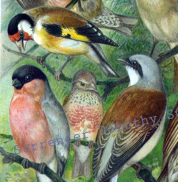 Victorian Backyard Birds : Common Song Birds Ornithology 1887 Vintage Victorian Chromolithograph