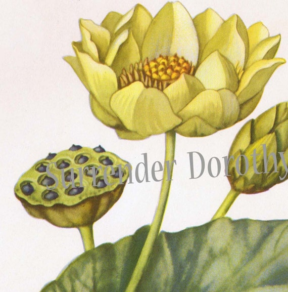 Lotus Lily Water Lily Flower Vintage Botanical Lithograph Art  Print To Frame 1950s 53