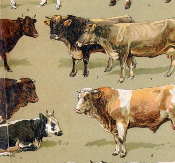 Cattle Varieties Antique Livestock 1907 Edwardian Era Chromolithograph Chart From Germany