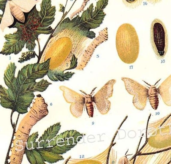 Silk Moths Silkworms Vintage Edwardian Entomology 1906 Natural History Science Textile Industry Lithograph To Frame