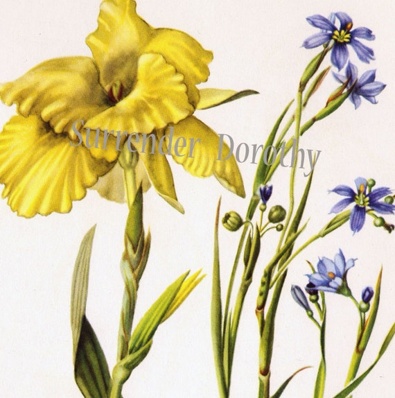 Blue Eyed Grass Drawing Golden Canna Blue Eyed Grass