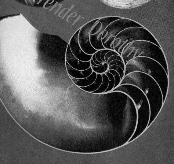 Chambered Nautilus Shell Fibonacci Spiral Edwardian 1905 Vintage Natural History Rotogravure Illustration To Frame