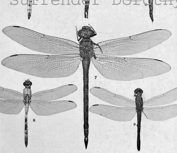 Dragonfly Micrathyria Libellula Insect Chart 1907 Edwardian Entomology Natural History Rotogravure Illustration To Frame XLI