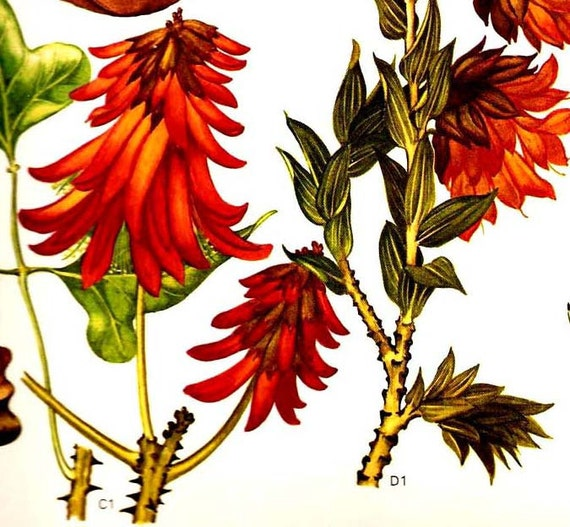 Tree Fuchsia Legume Flowers South Africa Botanical Exotica Large Vintage Illustration To Frame 72