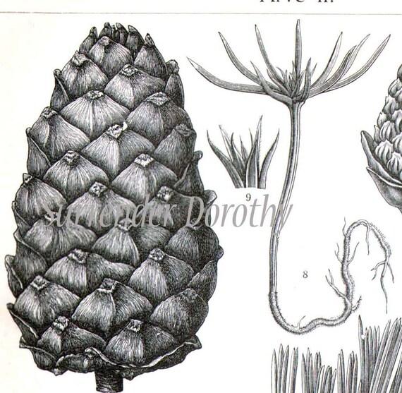 Arolla Swiss Pine Tree Cones Needles Pinus cembra 1907 Vintage Edwardian Botanical Engraving To Frame