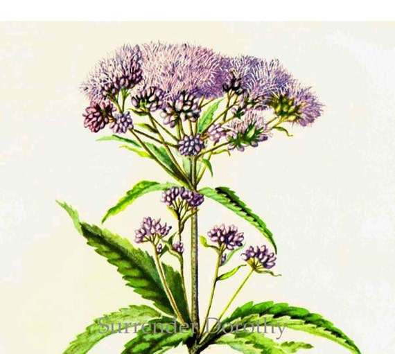 Joe Pye Weed Wildflowers Vintage Summer Flowers 1955 Botanical Lithograph Art  Print To Frame 232