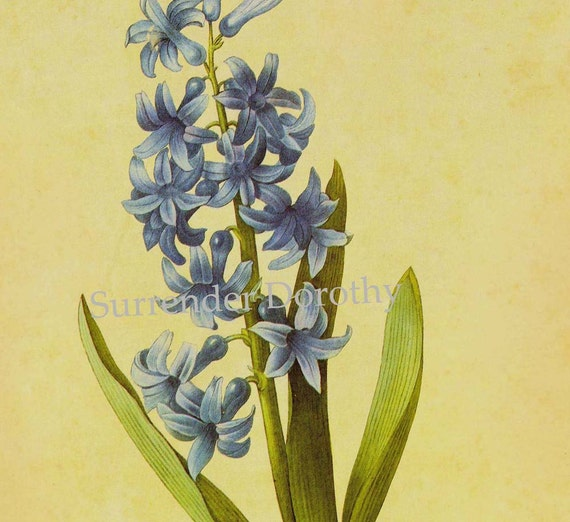 Blue Hyacinth Flower Vintage Poster Print Redoute Spring Botanical Lithograph To Frame 2