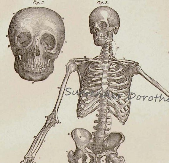 RESERVED LISTING 4 ED Human Anatomy Skeletal System Anterior View With Skulls 1892 Victorian Antique Medical Chart