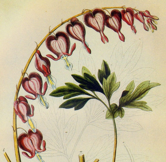 Bleeding Heart Dielytra Spectabilis Prestele Vintage Poster Print  Botanical Lithograph To Frame 211