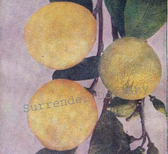 Lemon Tree Healing Medicinal Plants 1907 Vintage Edwardian Fruit Botanical Rotogravure To Frame