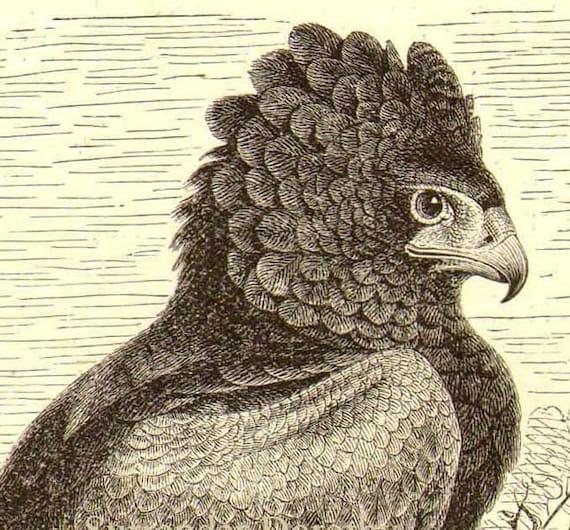 African Short Tailed Bateleur Eagle Antique Engraving Vintage Illustration 1905 Edwardian Natural History To Frame