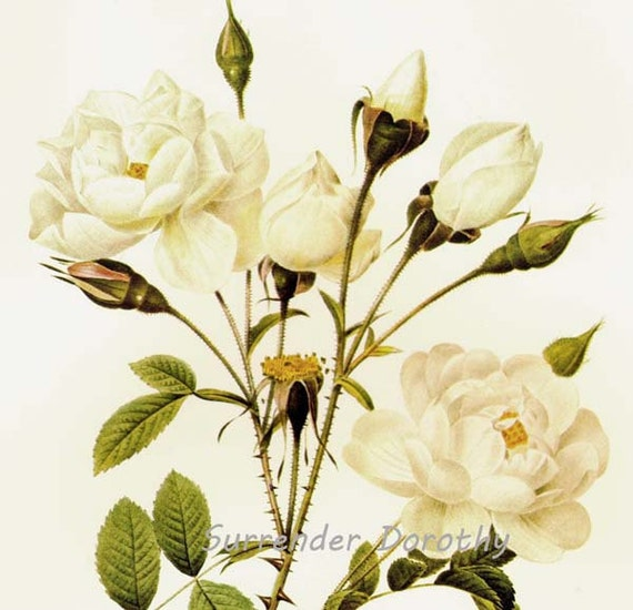 White Bell Rose Redoute Rosa Francofurtana Campanulata Vintage Flower Botanical Lithograph Poster Print To Frame 106