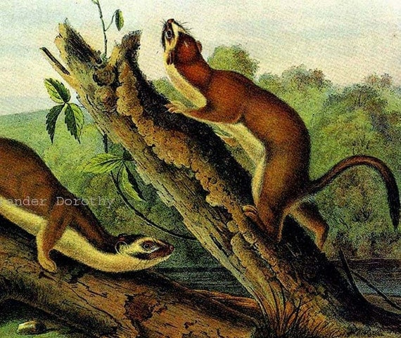 Bridled Weasel Ferret John J Audubon Wild Animal Lithograph Natural History Print To Frame