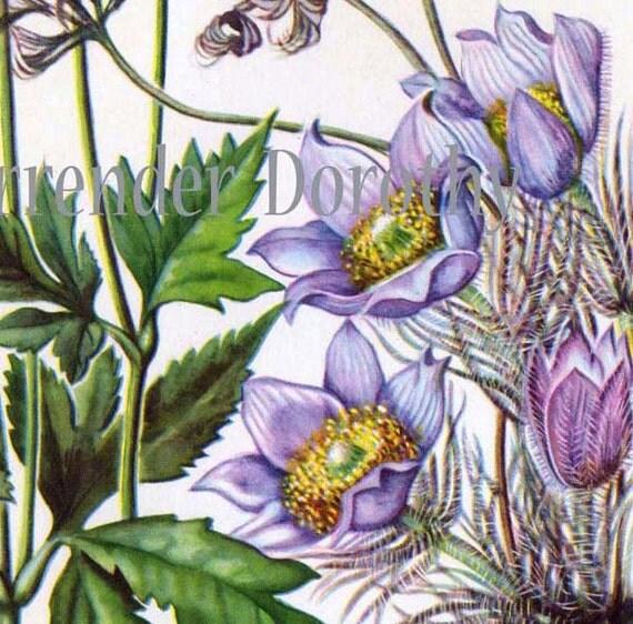 Pasque Flower Thimbleweed Vintage 1950s Botanical Lithograph Art  Print To Frame 56