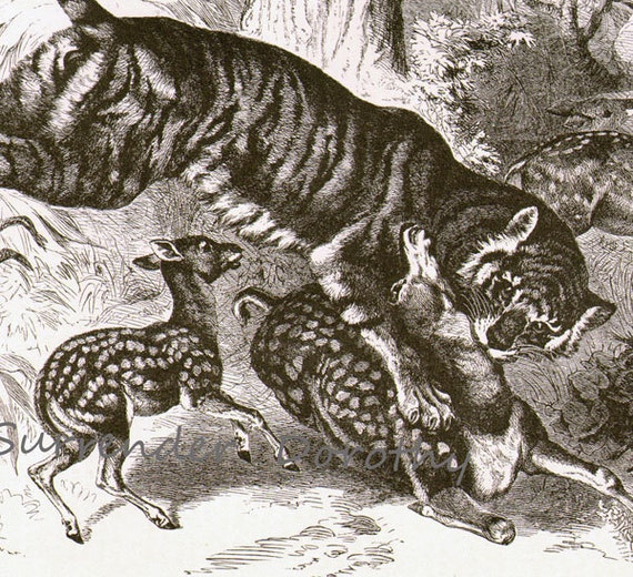 Royal Bengal Tiger India Vintage Victorian 1870s Black and White Natural History Wild Animal Engraving To Frame