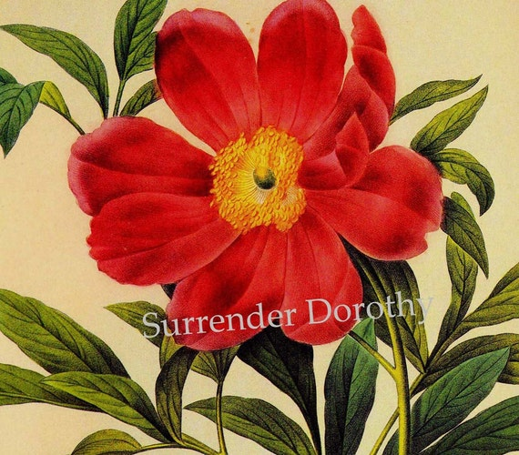 Single Red Peony Paconia Officinalis Redoute Flower Vintage Illustration Wildflower Lithograph Botanical Print To Frame 50