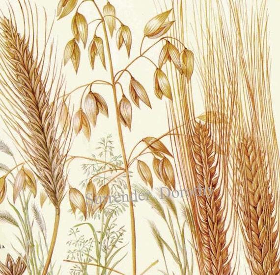 Barley Plant Drawing
