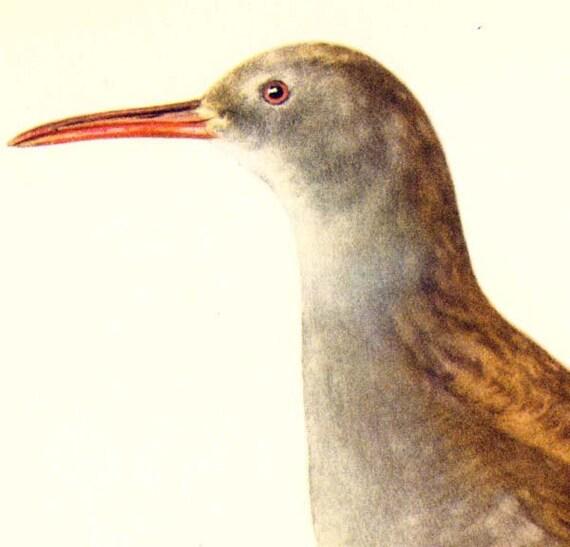 Water Rail Marsh Bird European Ornithology Natural History Lithograph Print 1960s Illustration To Frame 56
