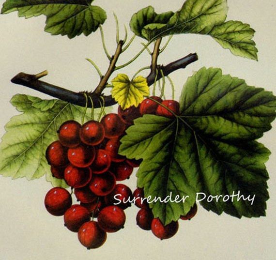 Cherry Currant Prestele Vintage Agriculture Poster Print  Botanical Lithograph To Frame 249