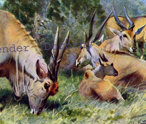 Antelope Family Natural History Lithograph By SurrenderDorothy