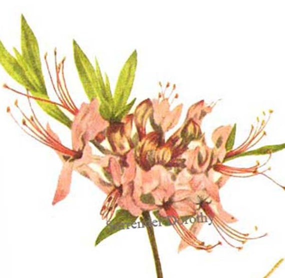 Pinkster Rhododendron & Smooth Azalea Flowers Vintage 1955 Botanical Lithograph Art  Print To Frame 255