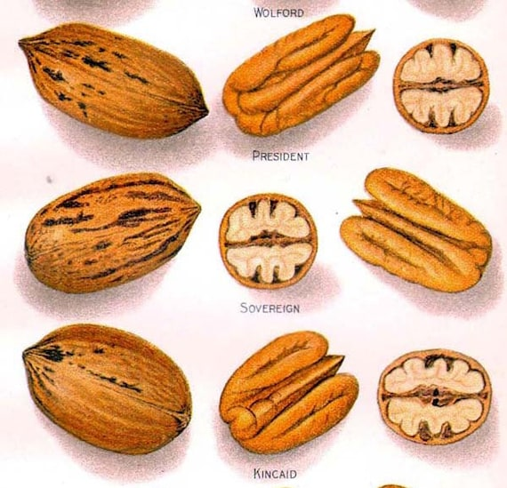 Pecan Nut Varieties 1907 USDA Antique Agriculture Botanical Lithograph Print To Frame