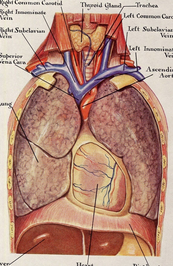 Human    Anatomy    Lungs Respiratory System Vintage Medical