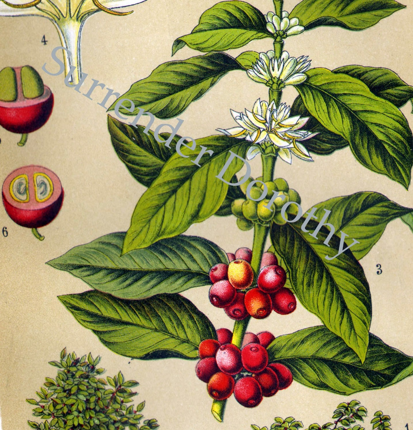 1903 Coffee Plant Botanical Chromolithograph Illustration