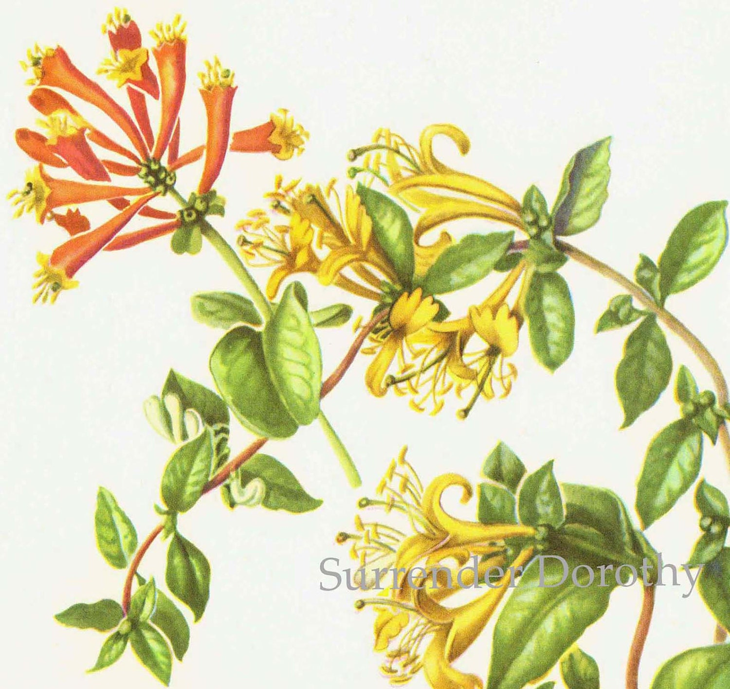 Honeysuckle Flower Line Drawing : Coral japanese honeysuckle flowers botanical art vintage