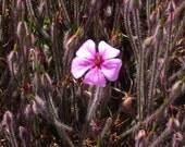 Fuzzy Pink Flower 5x7 Photograph