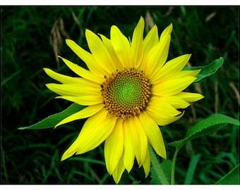 A Sunflower Print