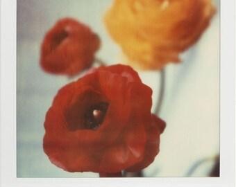 Polaroid Print 8x10 - Ranunculus - Fine Art Photography