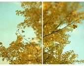 Tree Photograph - Nature Photography - Yellow - Turquoise - Fine Art Photography- Ginkgo in Autum Set