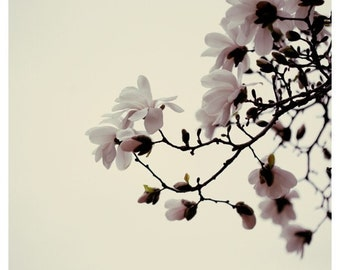 Flower Photograph - Magnolia - Magnolia Tree - Spring Photography -  Luck Be a Lady - Fine Art Photograph - Alicia Bock - White - Pink - Art