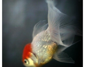 Nature Photography - Fish Print - Goldfish  Photograph - Fine Art Photograph - Light and Shadow 6 -  Alicia Bock - Fish Art - Oversized Art