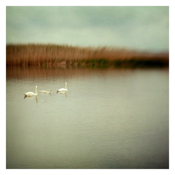 Swan Photograph - Birds - Nature Photography - Landscape Photograph - Cygninae- Original Fine Art Photograph