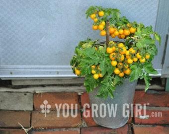 Hahms Gelbe Topftomate - RARE Dwarf Yellow Tomato