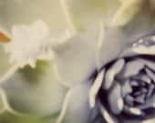 Desert Rose II