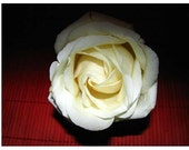 Red on White Rose photo 4 x6 inch - Limited Edition Zen Minimalist photograph